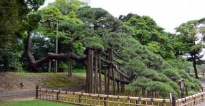 浜離宮:三百年の松