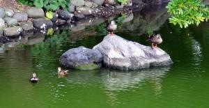 浜離宮の池で遊ぶカルガモ