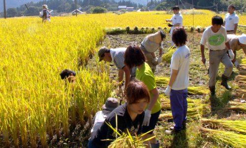第5回小谷村ワークキャンプ 稲刈り