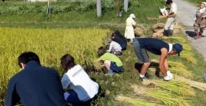 小谷村ワークキャンプ 稲刈り風景