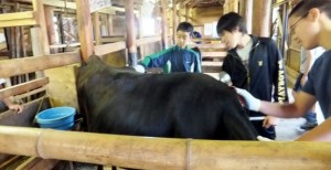 小谷村ワークキャンプ 牛のお世話