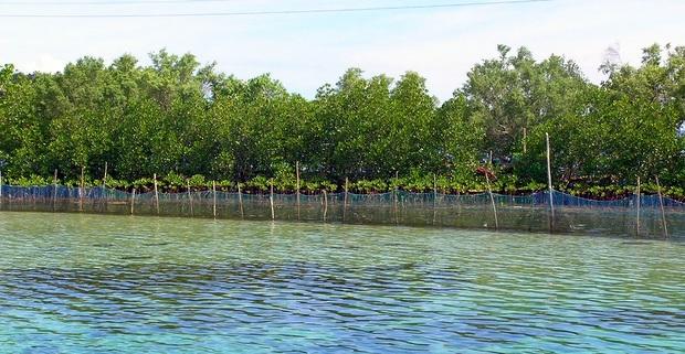 ラグーンの天然水族館。彼方に見えるのはマングローブ