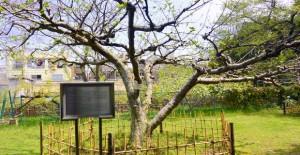 小石川植物園: ニュートンのリンゴ