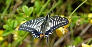 小石川植物園で見かけたアゲハチョウ