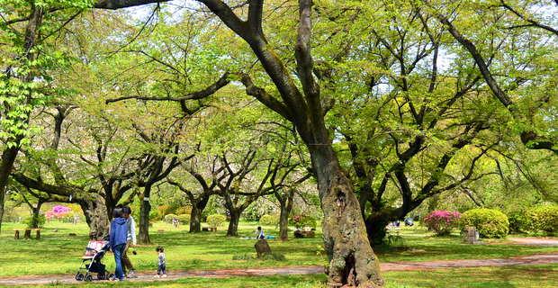 小石川植物園: ソメイヨシノ林