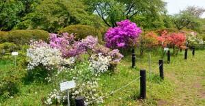 小石川植物園: ツツジ園