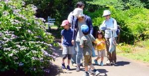 小石川植物園のアジサイ