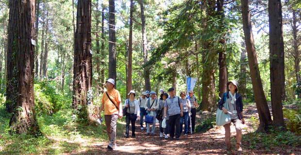 小石川植物園の針葉樹林