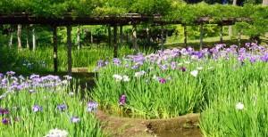 小石川後楽園の花菖蒲田