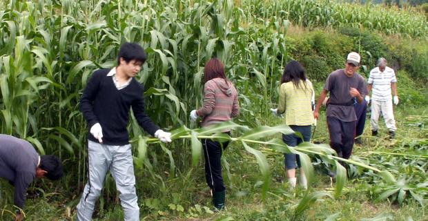 第3回小谷村ワークキャンプ モロコシの刈り取り