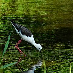 葛西臨海公園 鳥類園のセイタカシギ