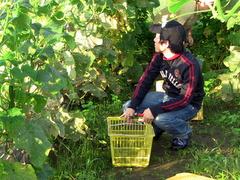 小谷村 共働学舎 野菜の収穫