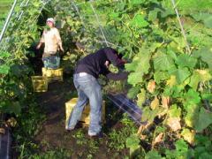 小谷村ワークキャンプ キュウリの収穫