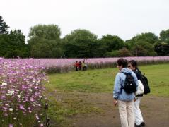 昭和記念公園 西花畑のアグロステンマ
