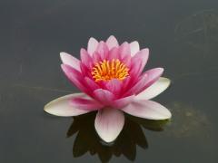 昭和記念公園 日本庭園のスイレン