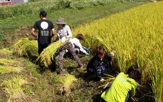 第5回小谷村ワークキャンプ 稲刈り風景
