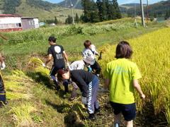 小谷村稲刈り作業